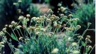 The guayule plant