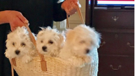 Screenshot of her Barbra Streisand's dogs, two of whom are cloned