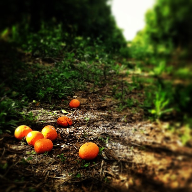 The last of the clementine harvest in the fields of Ramot Meir, #Israel