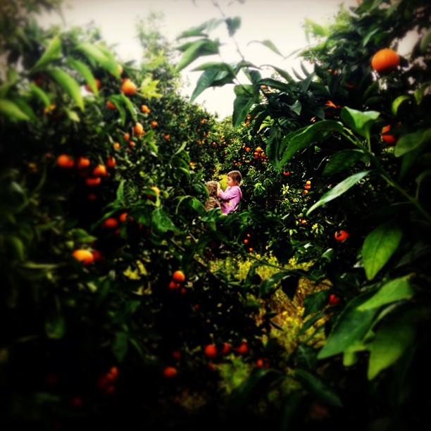 Picking oranges on a kibbutz in #israel