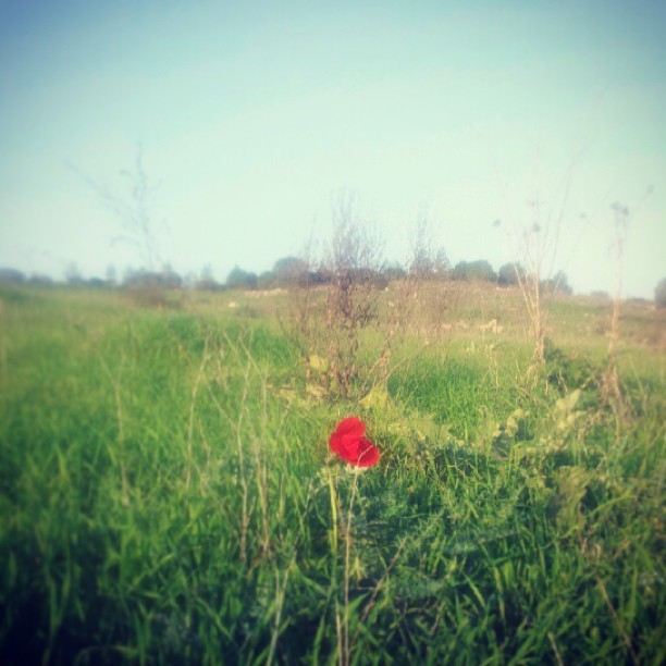 January 4, 2013 - #timesofisrael photo of the day: the first kalanit blossoms in Northern #Israel by @activedreamer