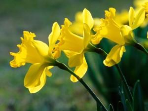 Daffodils focus of new children's memorial in Blue Ridge, Ga.