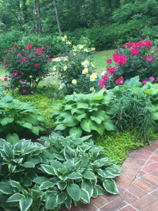Hostas and roses delight at the Cohn home.