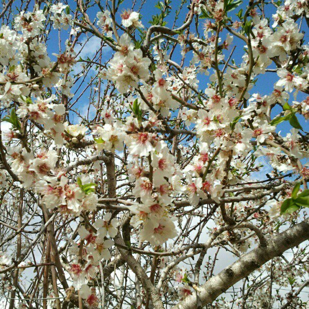 My almond tree blooming, last year