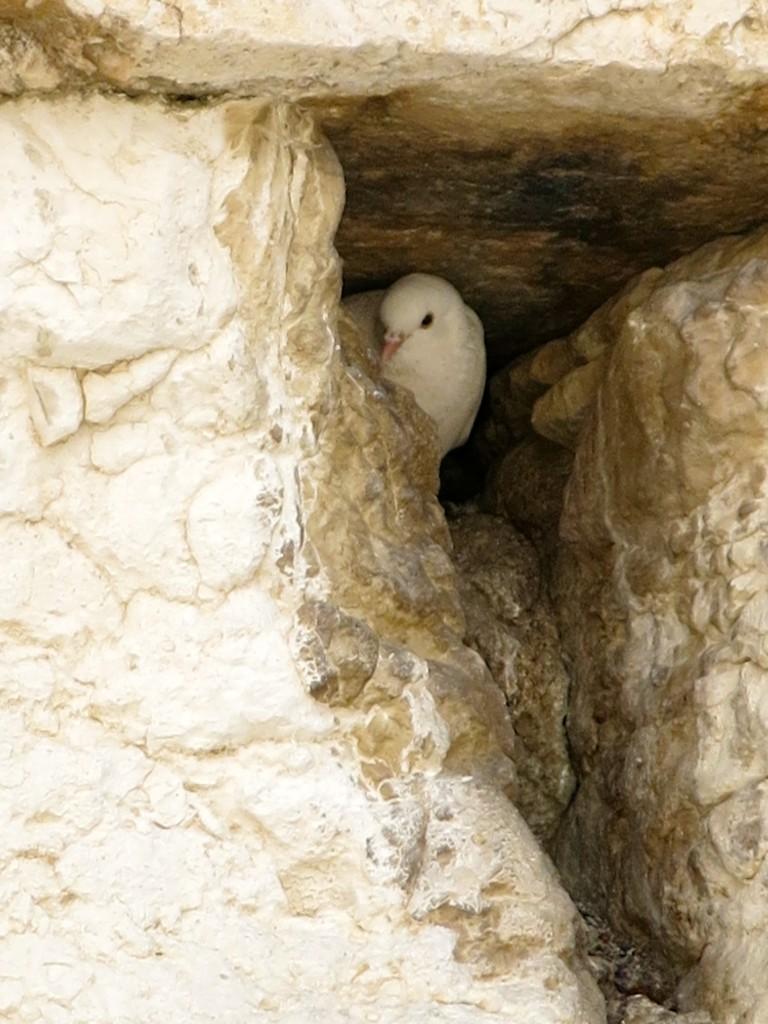 A dove nestles among stones at Jerusalem's Western Wall (Photo: Qanta Ahmed)