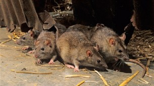 ...while the rats continued to multiply and prosper.