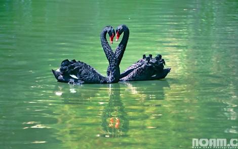 jerusalem-zoo-swans