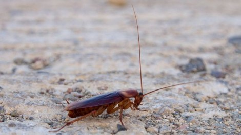 A cockroach, file photo (Photo credit: CC-BY-SA Sputnikit Wikimedia Commons)