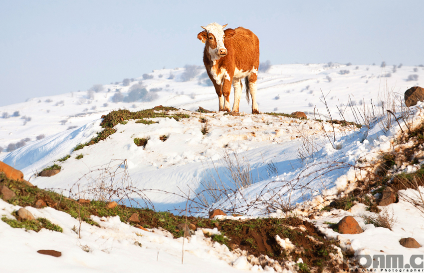 cow-on-snowy-golan-heights
