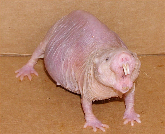 Naked mole rats are resistant to cancer and have comparatively longer life spans than other rat species. Credit: Buffenstein/Barshop Institute/UTHSCSA