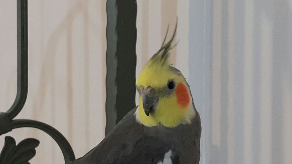 My 14-year old pet cockatiel, Nisan.