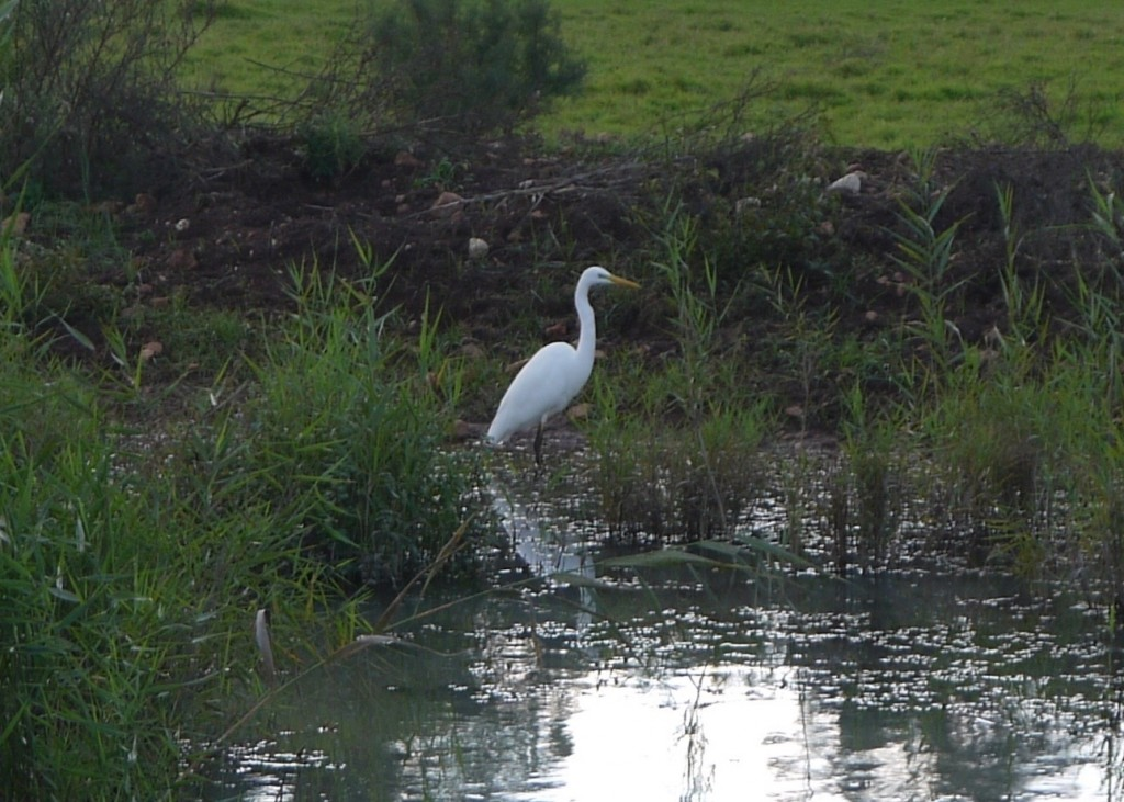 Great White Egret at Hula Reserve