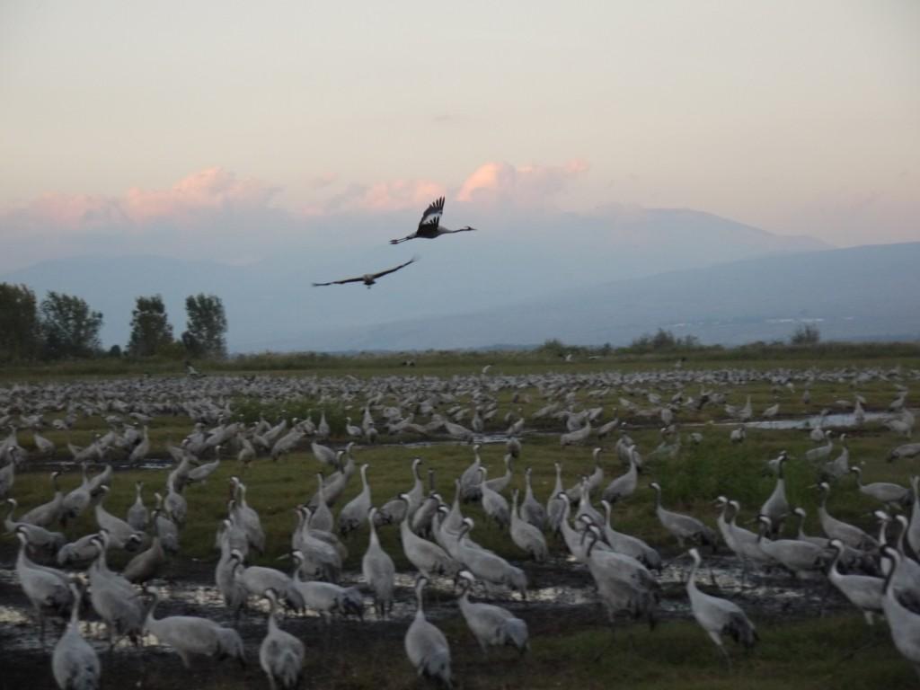 Two cranes flying Agamon HaHula at dusk