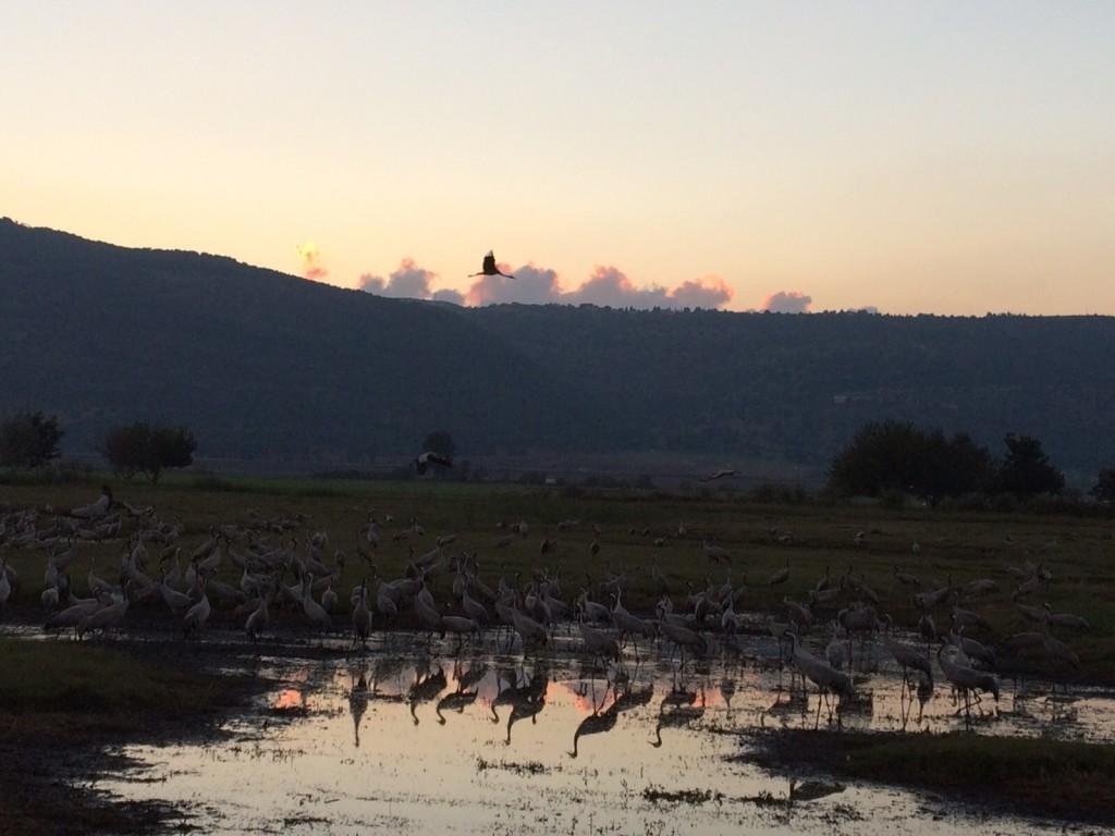 Cranes at Hula at Sunset