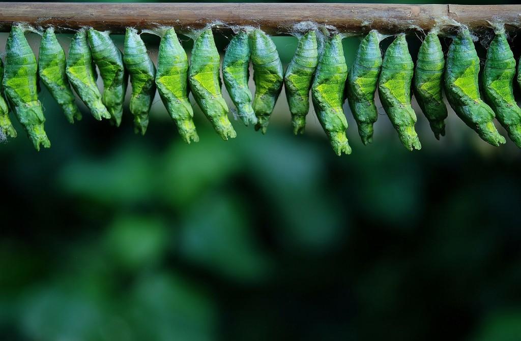https://pixabay.com/en/cocoon-cocoon-butterfly-larva-209096/