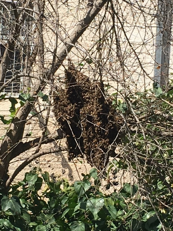 Bees nesting on Pomegranate Tree