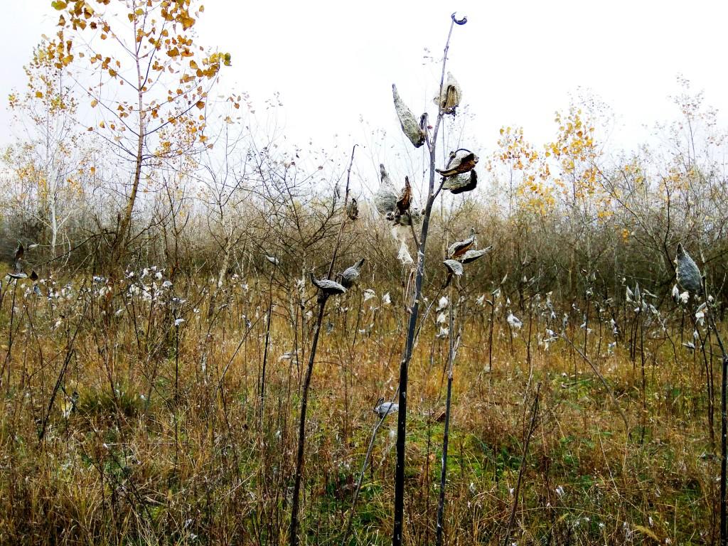 Silkweed occupied area