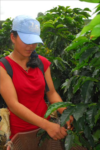A young Costa Rican woman picks coffee beans at a finca just outside San José. Israel currently imports coffee beans but little else from the Central American nation. Photo: Larry Luxner