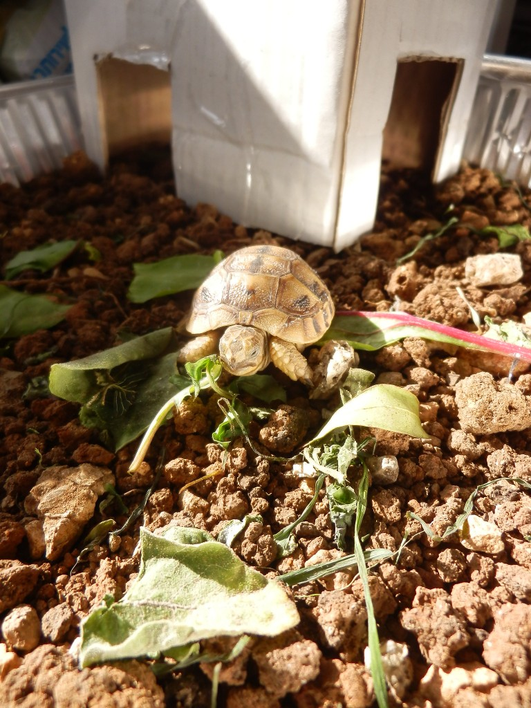 The little turtle in his new temporary home.