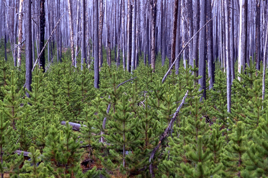 Photo of Lodgepole pine forests reestablish themselves amongst still standing dead trees 10 years after the 1988 Yellowstone fires.