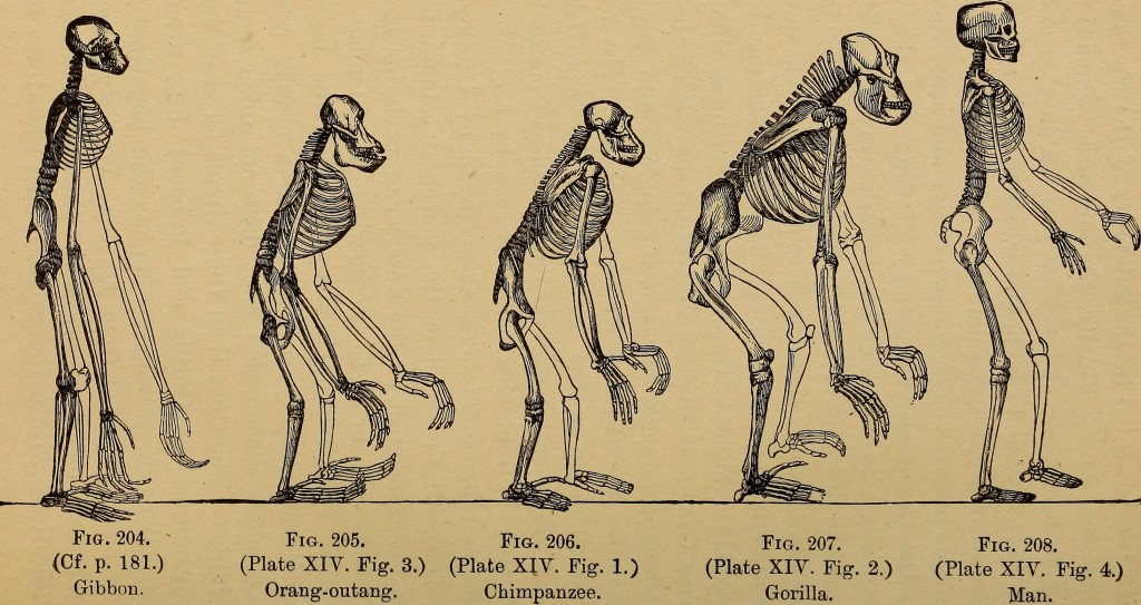 illustration from The Evolution of Man: A Popular Exposition of the Principal Points of Human Ontogeny and Phylogene (1896) by Ernst Haeckel