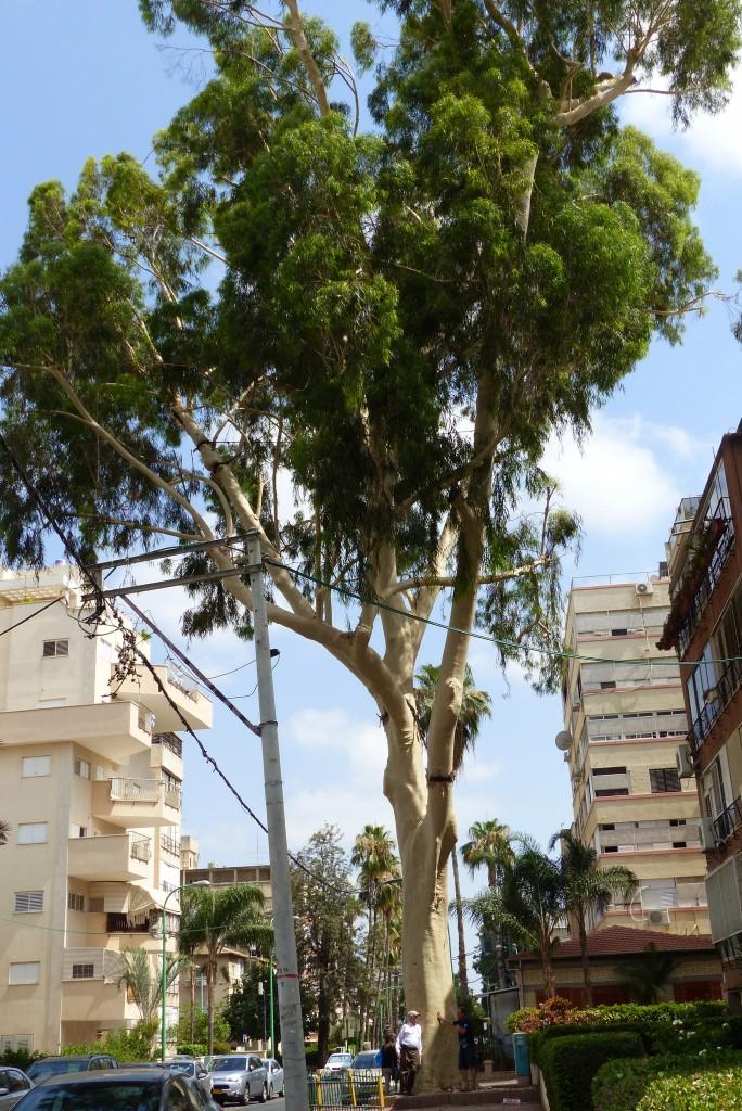 Eucalyptus Citriodora-Petach Tikvah (2)