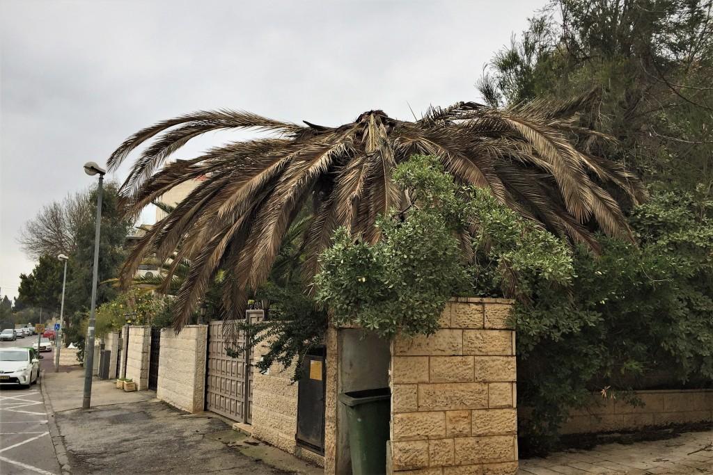 An afflicted palm tree on Rabbenu Politi Street in Jerusalem (Photo: Shira Pasternak Be'eri)