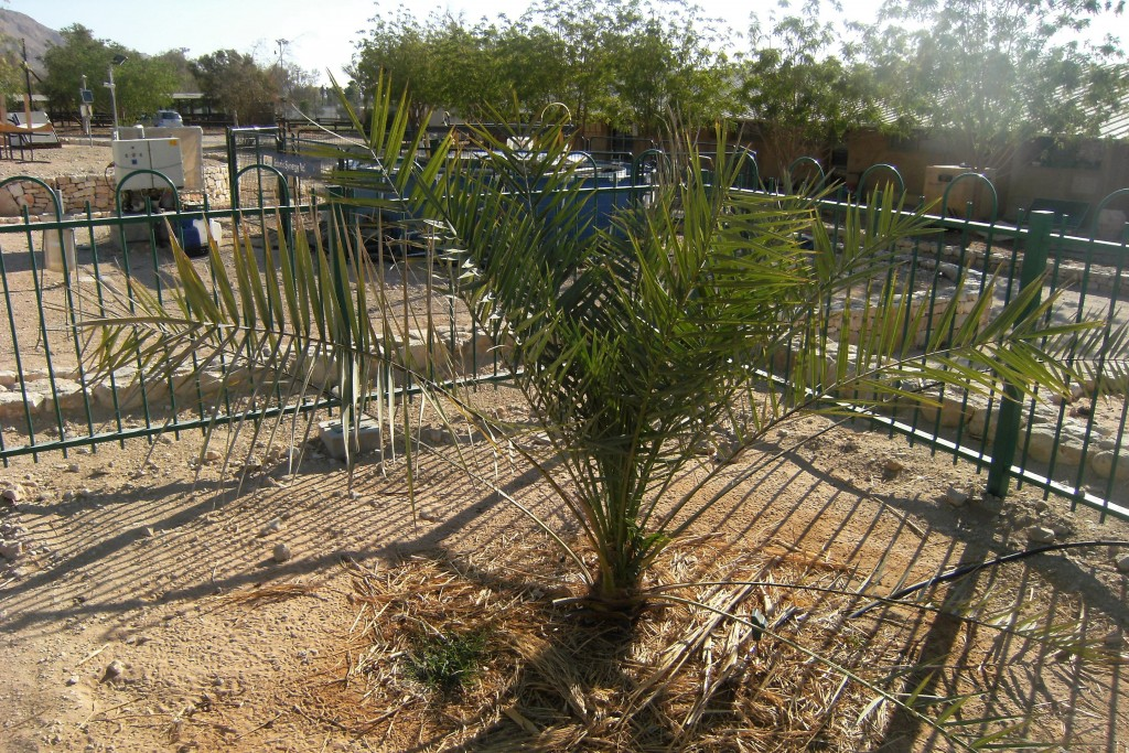 Methuselah – a Judean date palm germinated from a 2,000-year-old seed found at Masada [Photo by Benjitheijneb (Own work), via Wikimedia Commons]