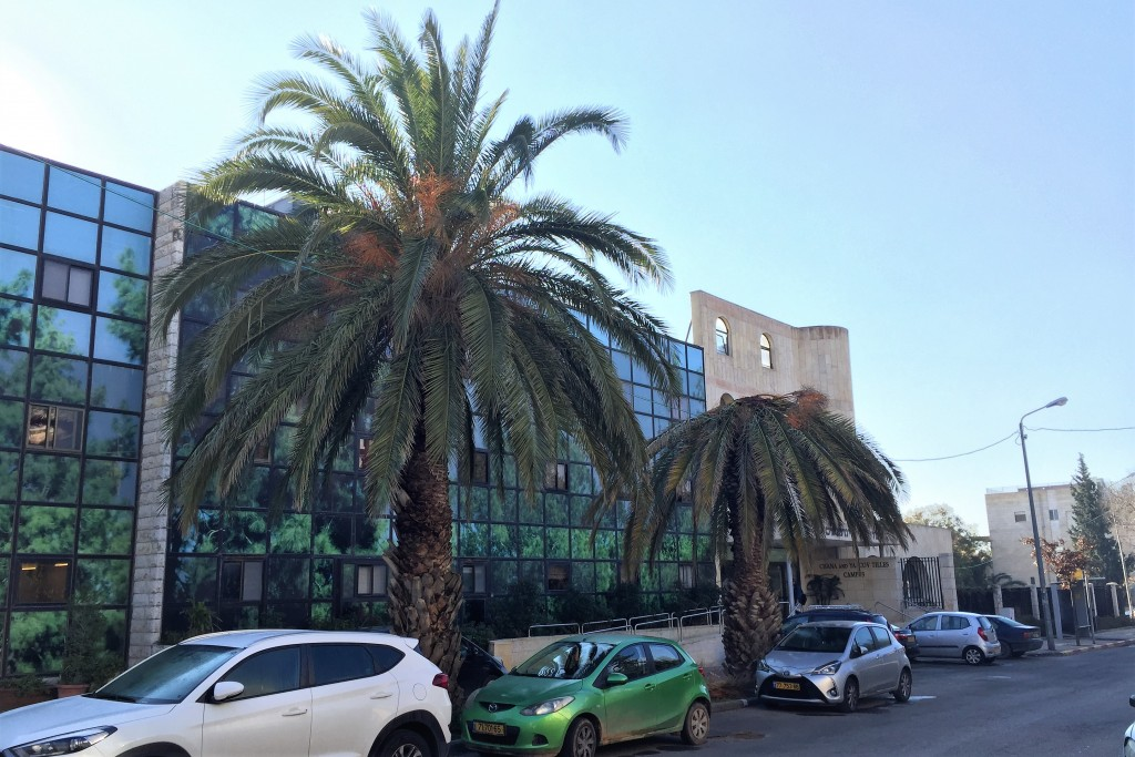 A palm with a collapsed crown alongside one that is still erect, Midreshet Lindenbaum, Jerusalem. A third tree, which was once to their left, has been removed. (Photo: Shira Pasternak Be'eri)