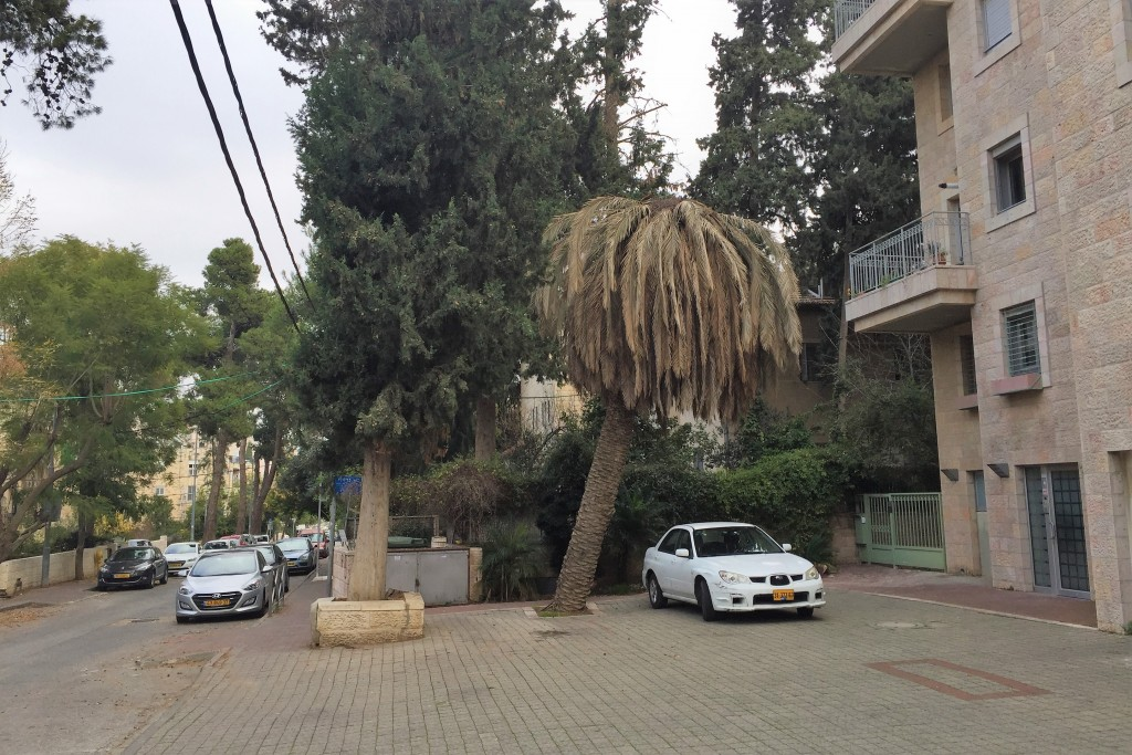 An infected tree on Efrata Street in Jerusalem. Now you see it…