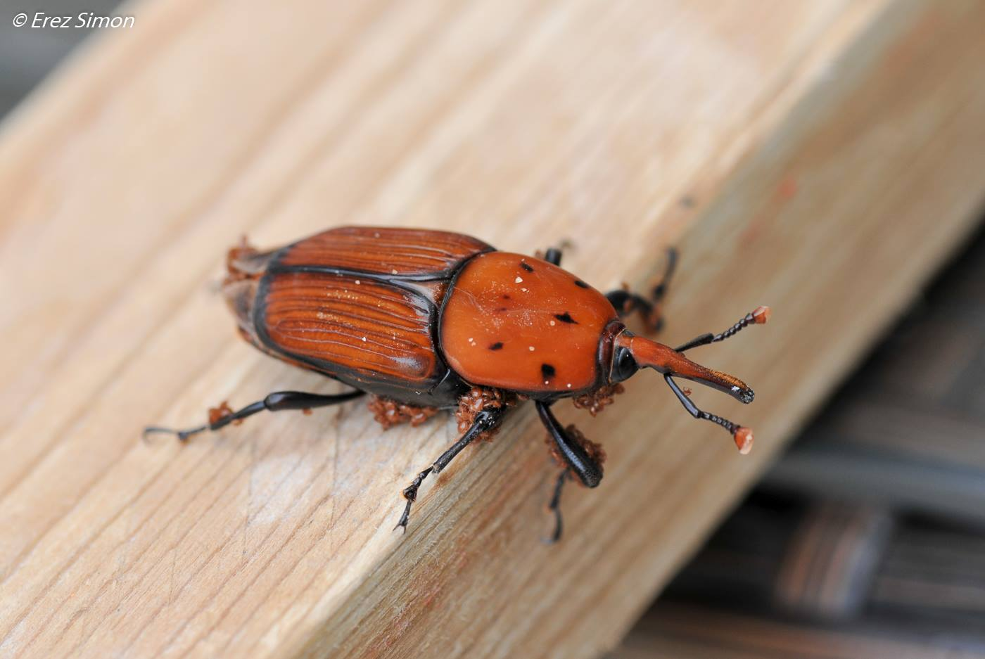 The red palm weevil (Photo: Erez Simon, Facebook)