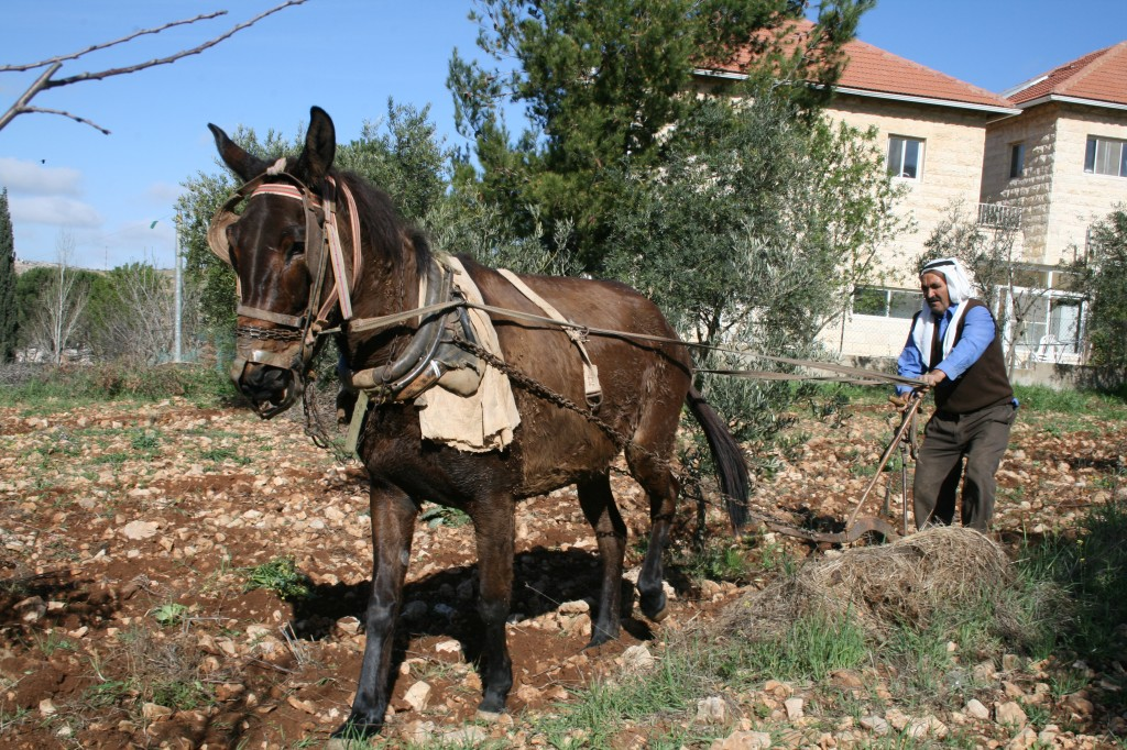 A Palestinian farmer plows his field inside the Jewish settlement of Efrat (photo credit: Gershon Elinson/Flash90)