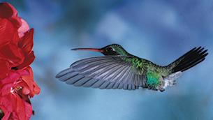49-1b-toi-khan-hummingbird