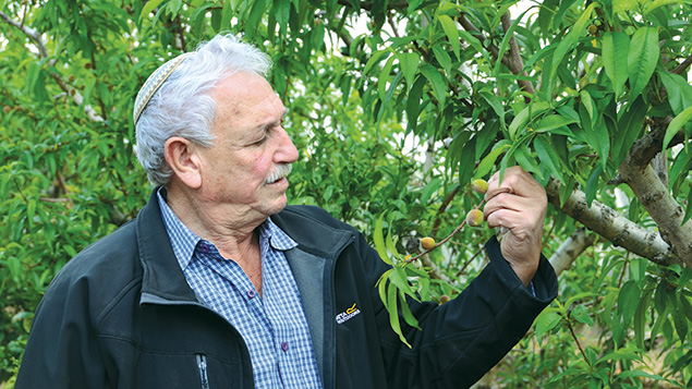 Shimon Chazut of Moshav Gimzu looks at the fruit of one of his trees.