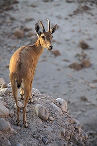 Hi, Yael — a Nubian ibex gazes out at the Ein Gedi nature reserve in Israel's Judean desert. (YuvalR/Wikimedia Commons)