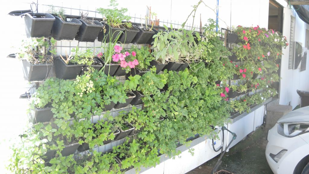 Barness's workers, who are mostly from Eritrea, started growing spices and tomatoes on the side of their caravan after learning how to build decorative vertical gardens, pictured here on March 23, 2016. (Melanie Lidman/Times of Israel)